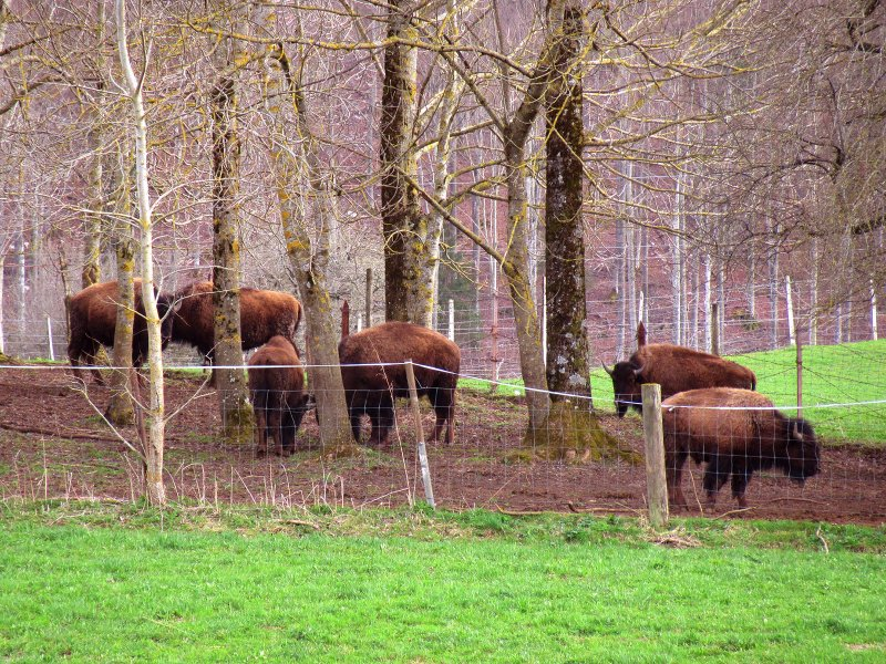 Bisons au Day sur Vallorbe